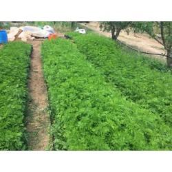 Einjähriger Beifuß Artemisia-Annua Qing Hao Tee 100% rein Der Echte!